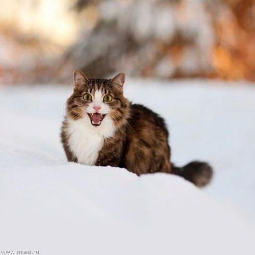 Снежные кошки