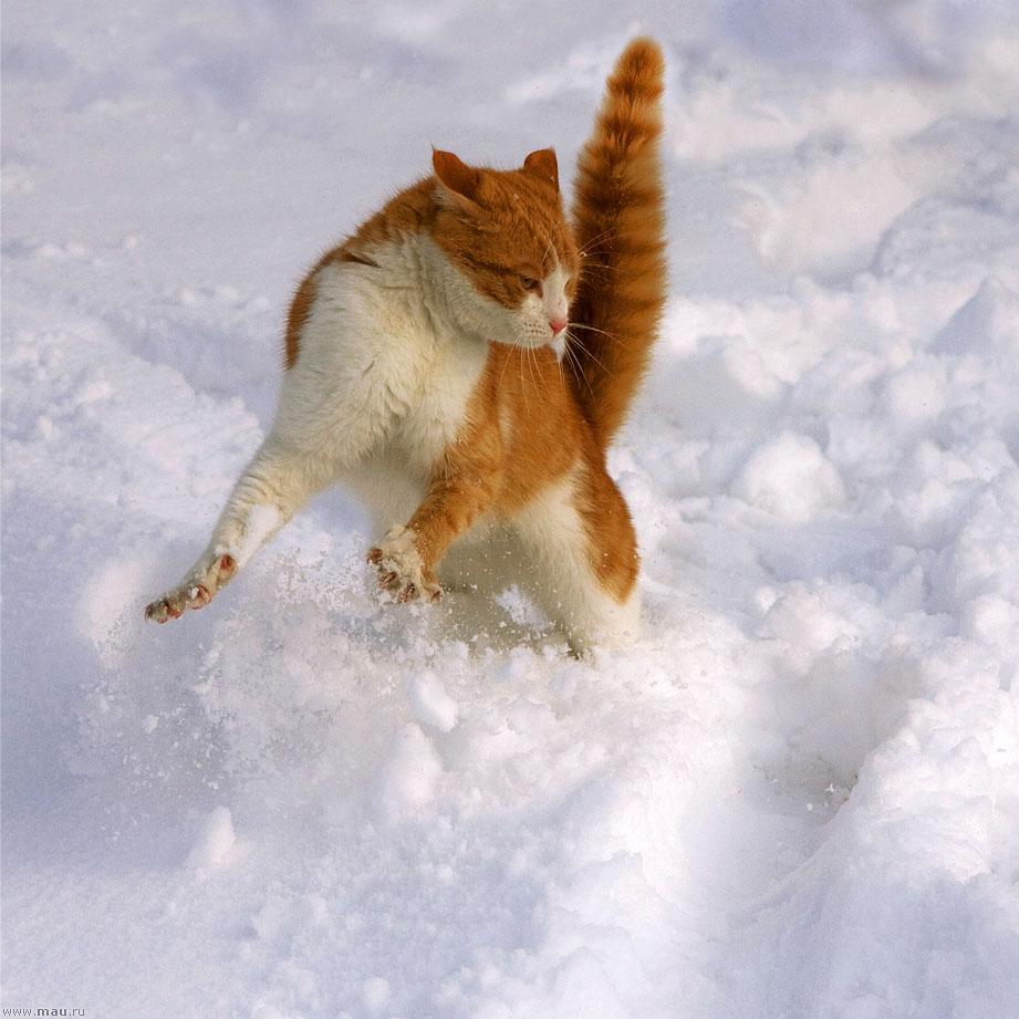 Рыжие кошки на белом снегу
