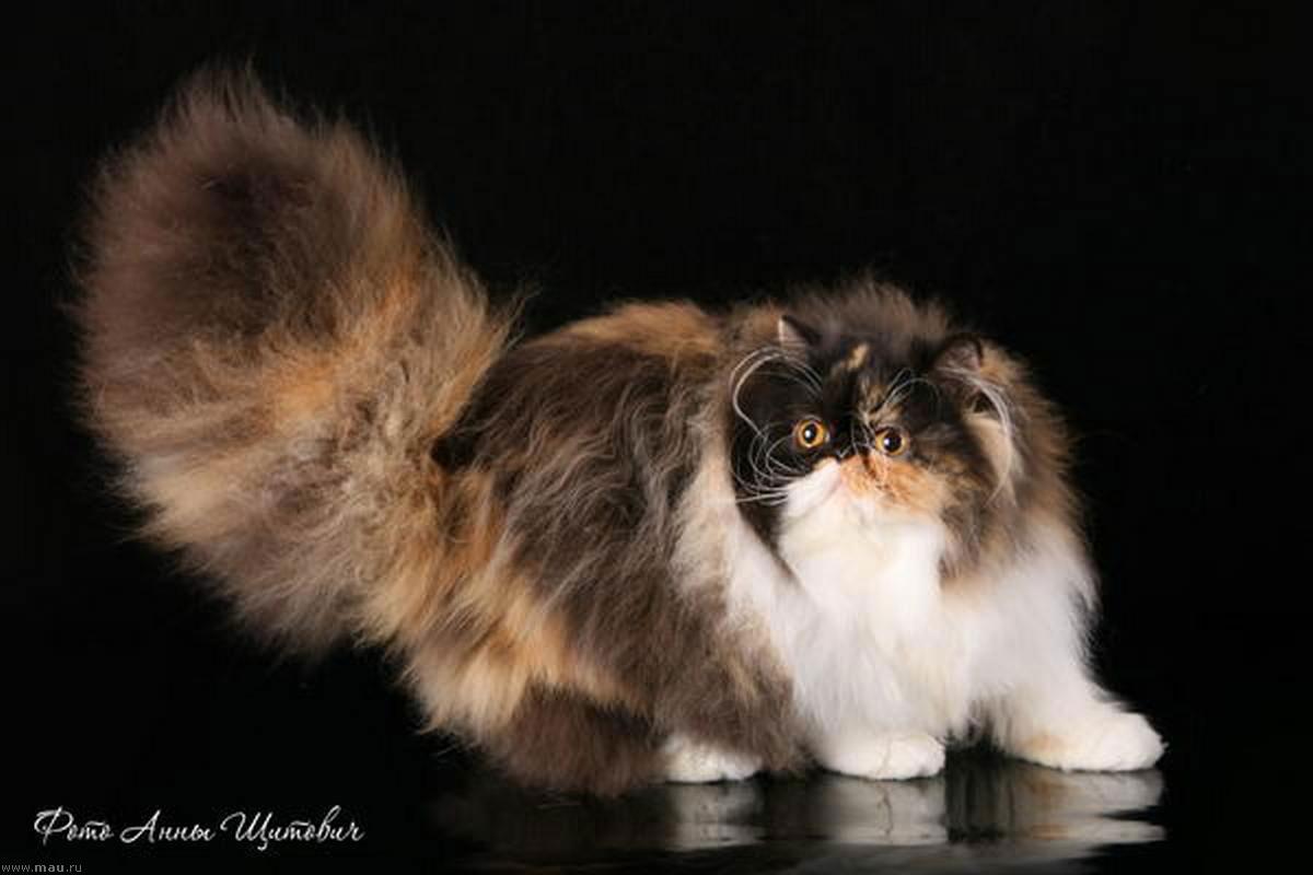 коты персы экзоты