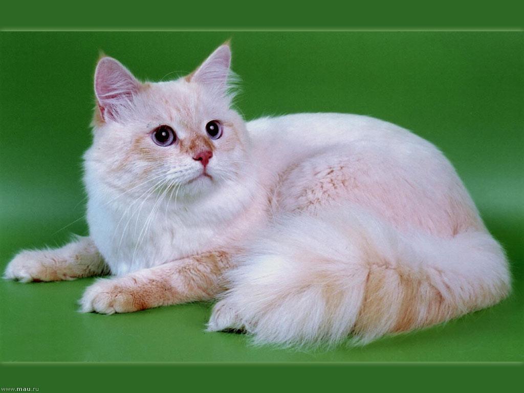 """Фотогалерея """"Сибирские кошки"""" - """"ICH Одиссей Голден ...: https://art.mau.ru/foto_cats/?p=sib&id=10"""