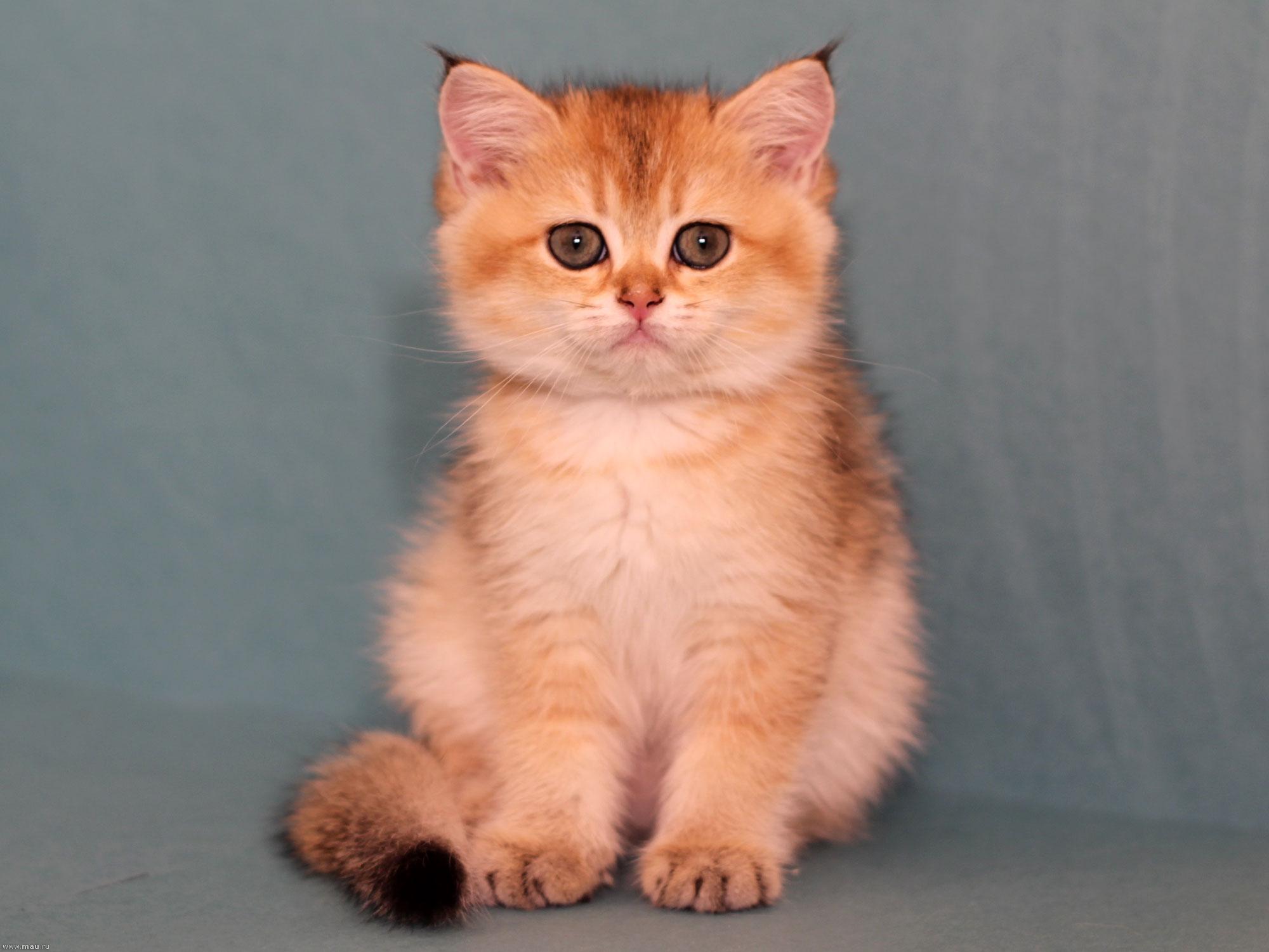 Кошки золотая шиншилла фото питомник
