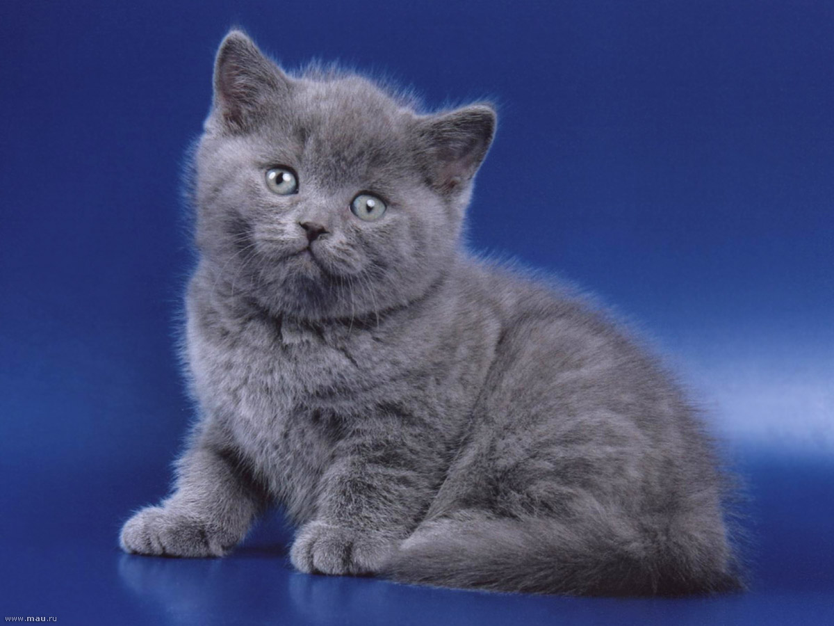 так британские котята фото серые проблемы
