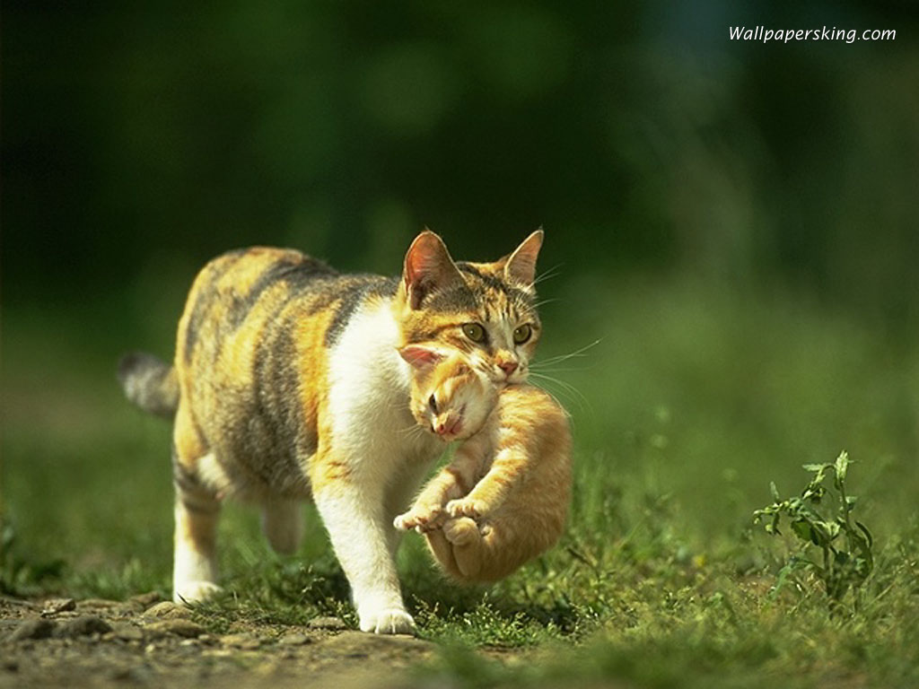 http://art.mau.ru/foto_kittens/mammy/kitty901.jpg