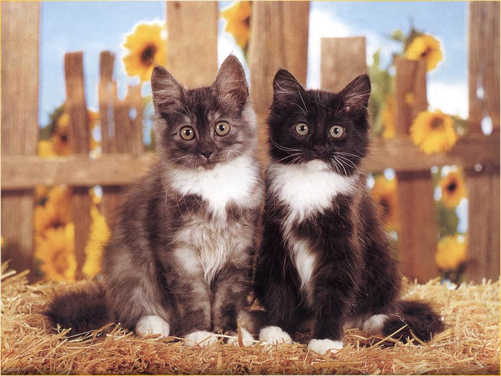 Картинки с двумя кошками