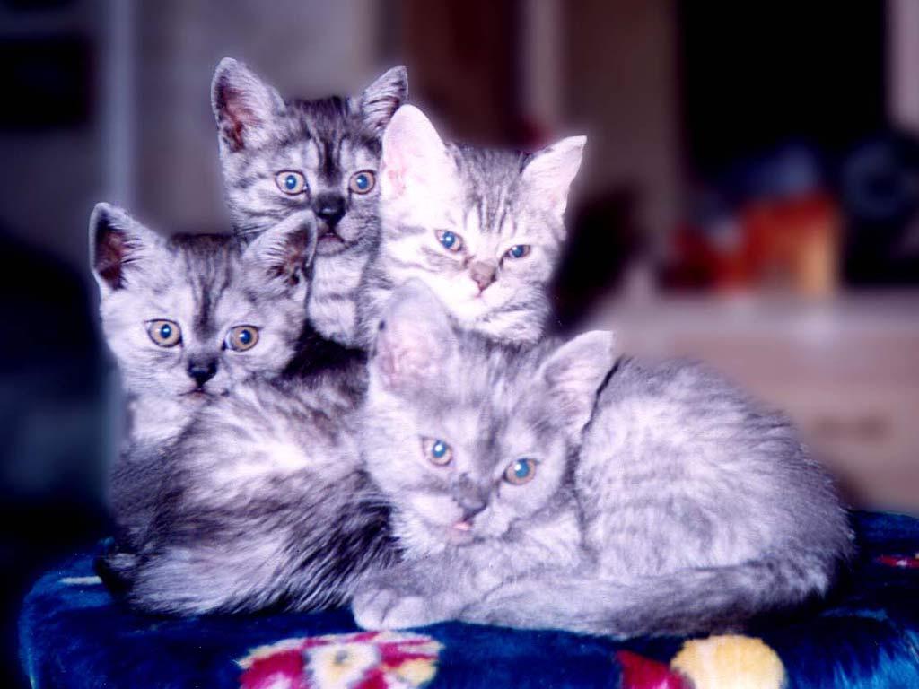 картинки с четырьмя котятами вариантом для всякого